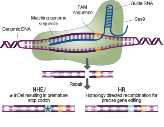 crispr a technique used to cut out human genes and replace them with new and working ones Precise and easy ways to rewrite human genes could finally provide the tools who has already used crispr to correct the but tailoring them to new gene.